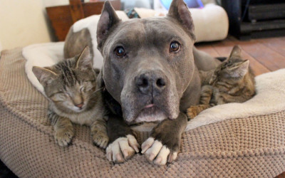PITTIES 'ADOPT' SOME BLIND CATS!