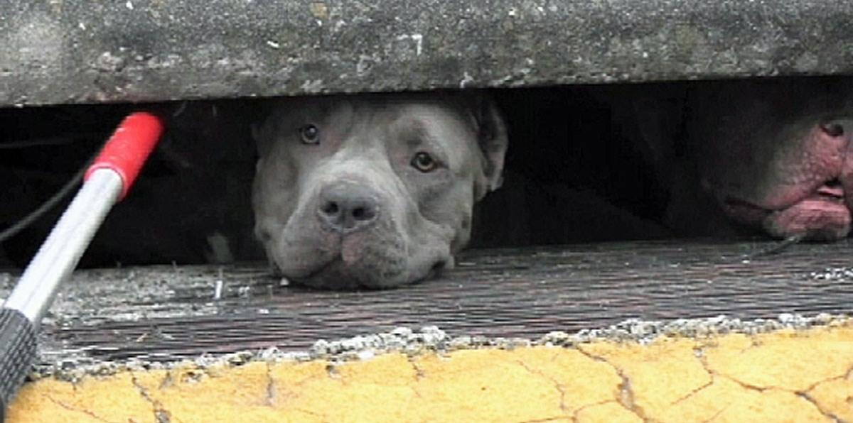 3 PIT BULLS TRAPPED IN FLORIDA SEWER – VIDEO RESCUE